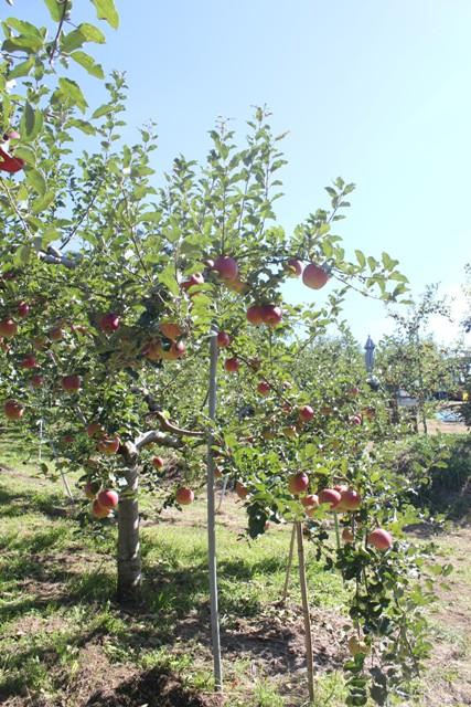 こんなに沢山のリンゴ見たの初めて~
