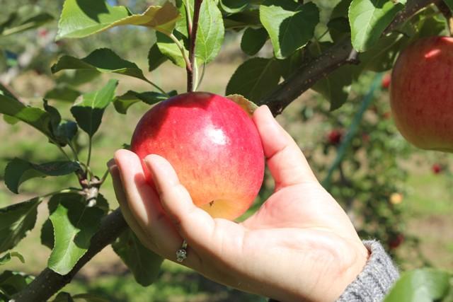 綺麗なリンゴちゃん