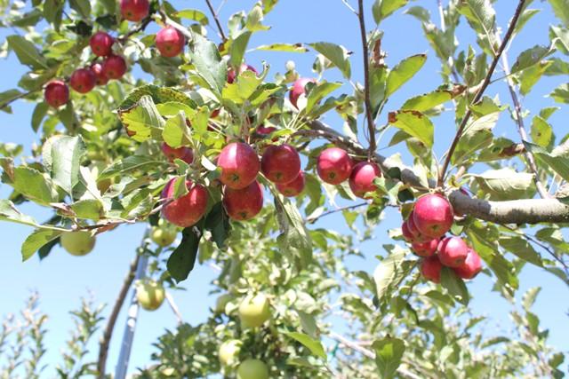 色んなリンゴ