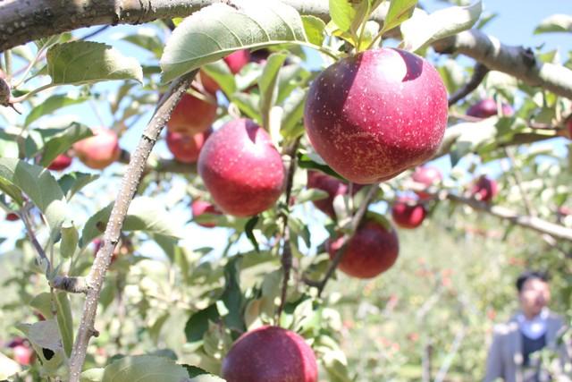大きなリンゴ