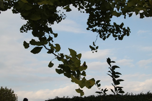 秋空と銀杏の葉