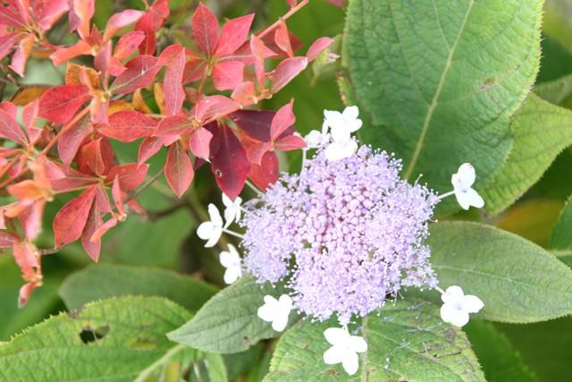 ひっそり紫陽花