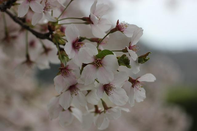 湯谷温泉の桜