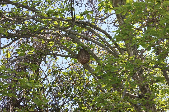 スズメハチの巣