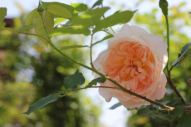 ジャネット全開花!!。