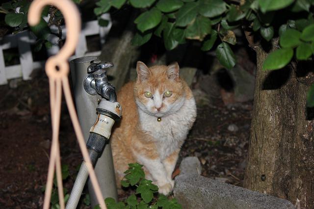 居候のネコ