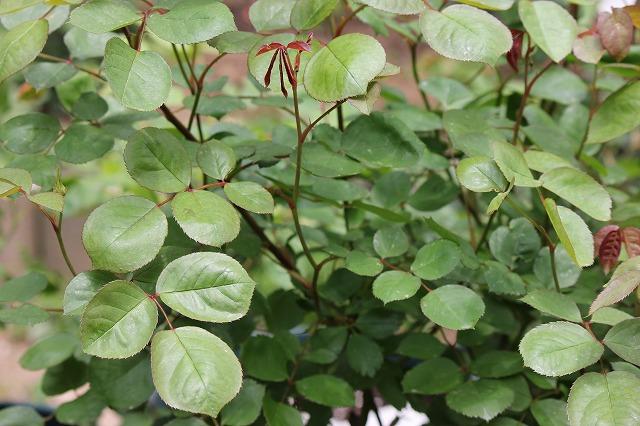 葉面散布の効果2