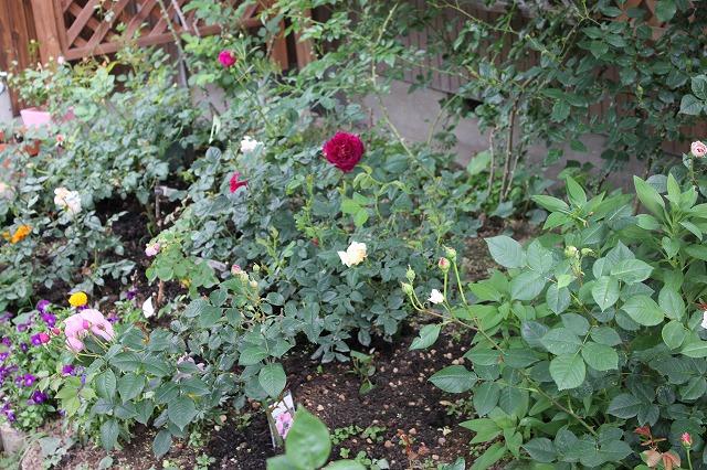 まゆみの木の下のバラ