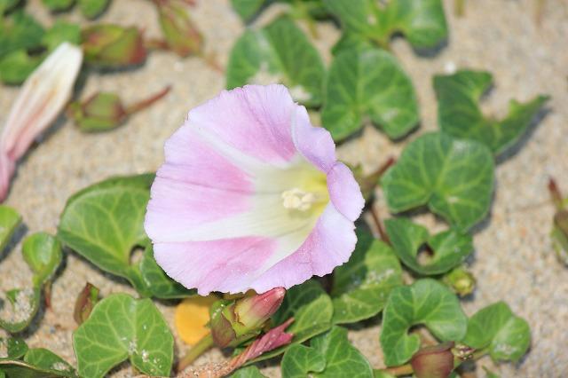 砂浜で見た花