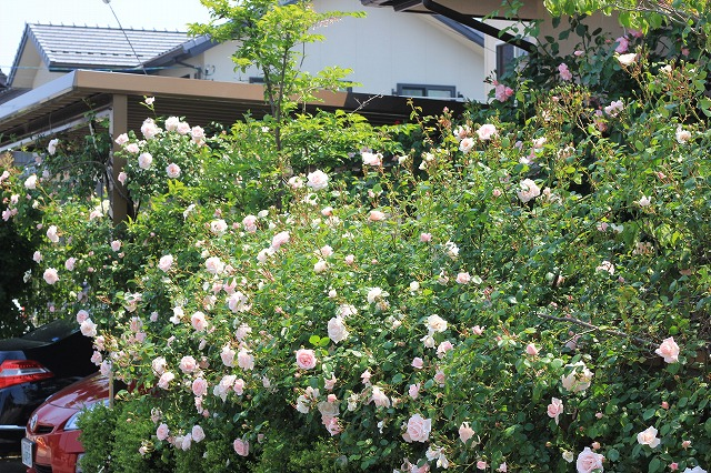 バラ友のお庭1