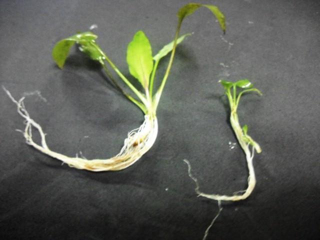 cryputokoryne auriculata SG Mador 2012.7.11WWR便
