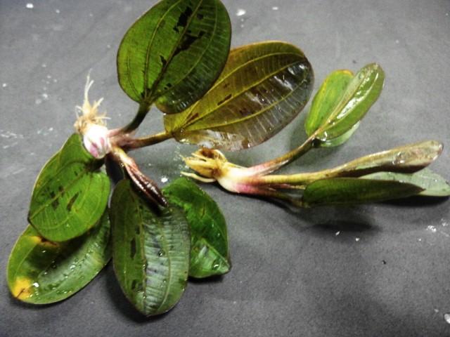 Echinodorus ハディーレッドパール
