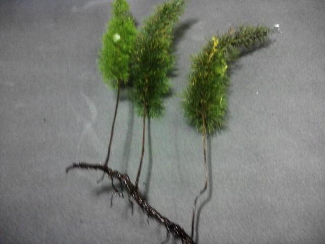 Trichomanes meifolium CameronHighlands WWR 20121122