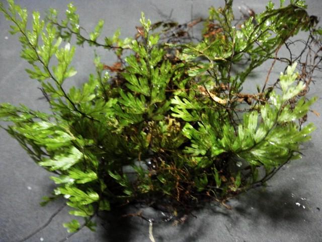 Hymenophylum sp.CameronHighlands WWR 20121122
