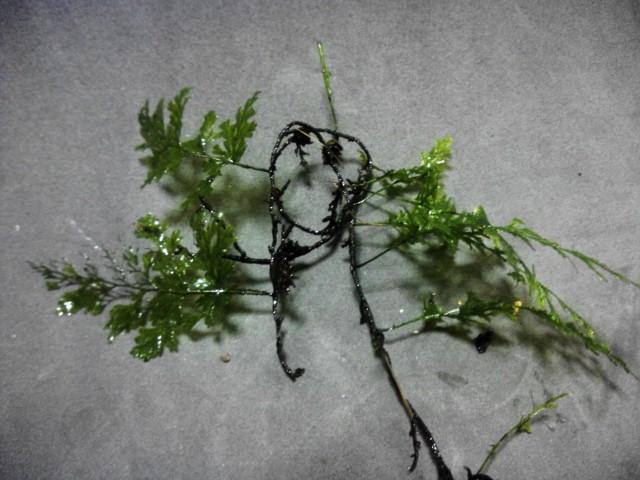 Hymenophyllum sp Ranchan WWR