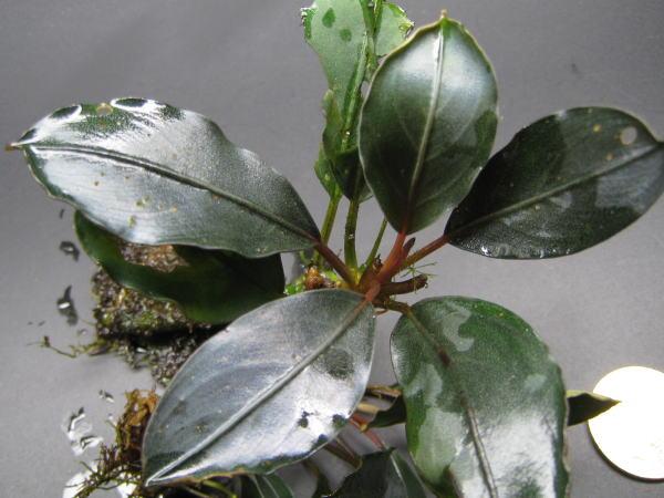 Bucephalandra sp PADAWAN WWR