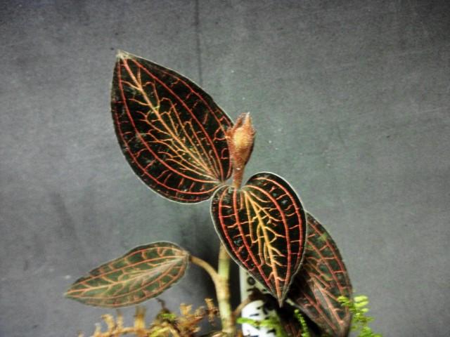 Anoectochilus aibolineatus花芽