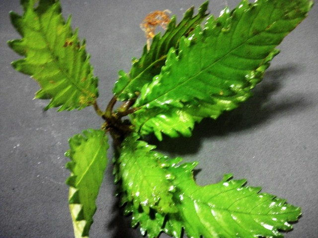 Gesneria sp.CameronHighlands WWR