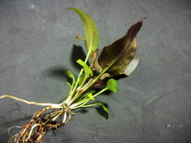 thwaitesii Kottawa forest Brown type 根