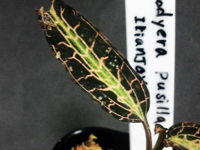 Goodyera pusilla葉