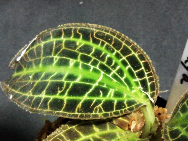 macodes sanderiana 葉2