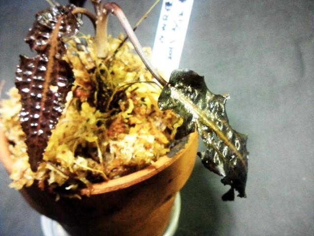 affinisロザ葉