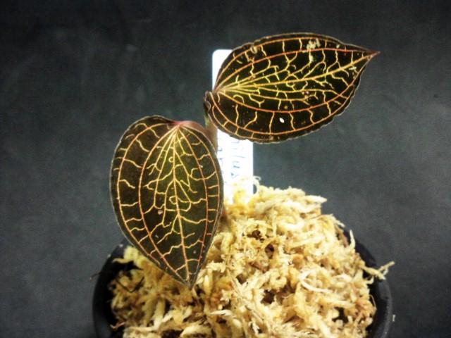 anoecto longicalcaratus sabah WWR