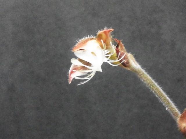anoectoの花