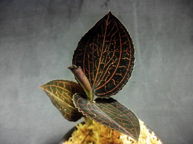longicalcaratus Sabah2