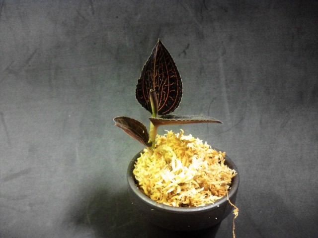 longicalcaratus Sabah