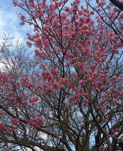 陽明山丸い桜