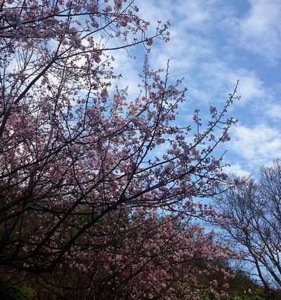 陽明山吉野桜