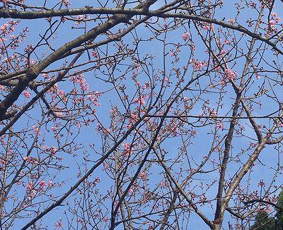 陽明山青空と桜