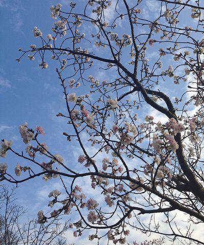 陽明山大島桜