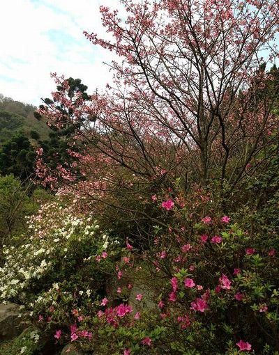 陽明山濃い桜