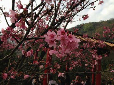 陽明山濃い桜アップ
