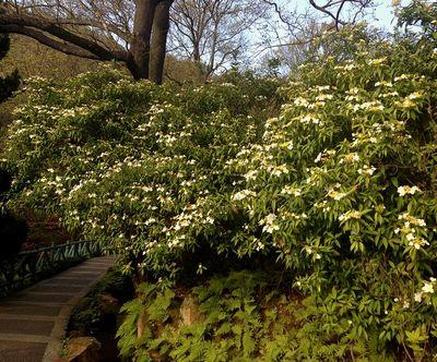 陽明山白い花