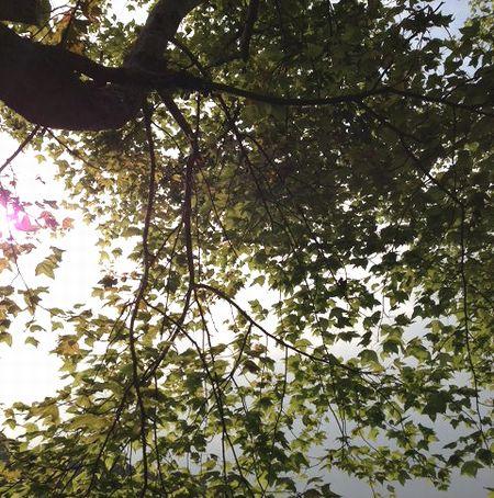猫空透ける葉