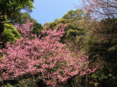 竹子湖桜と緑