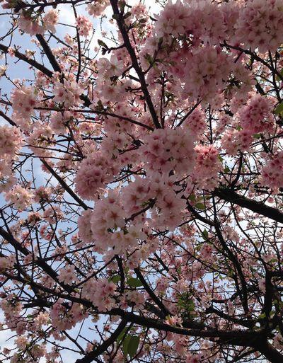 淡水天元宮晴れ桜
