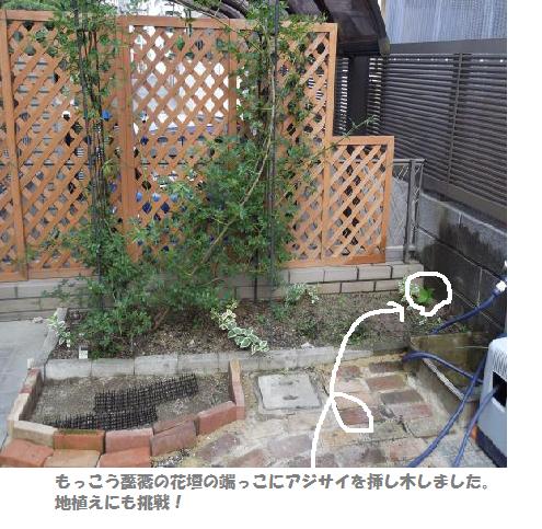 2012.6.10もっこう薔薇アジサイ挿し木ペ