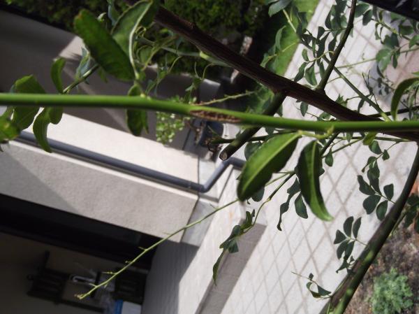 20120625もっこう薔薇虫食い