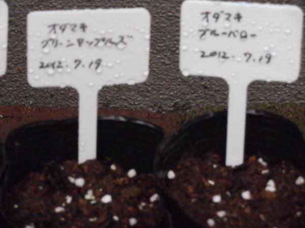 20120719オダマキ②