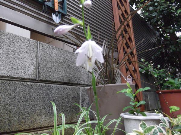 20120724ホスタ・シャルモン②