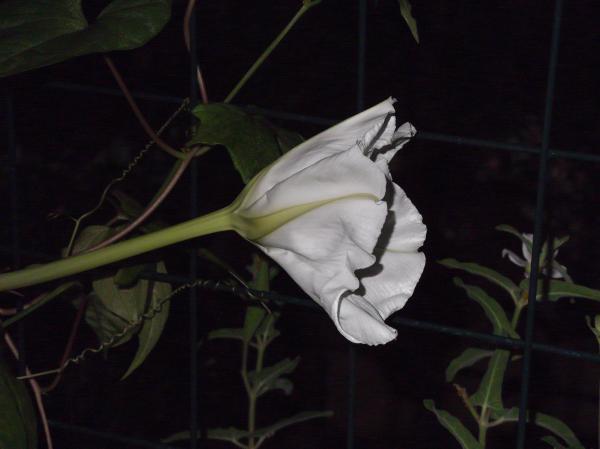 20120906夕顔23時