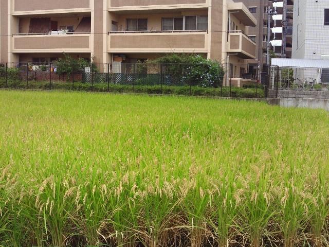 20120929稲刈り②