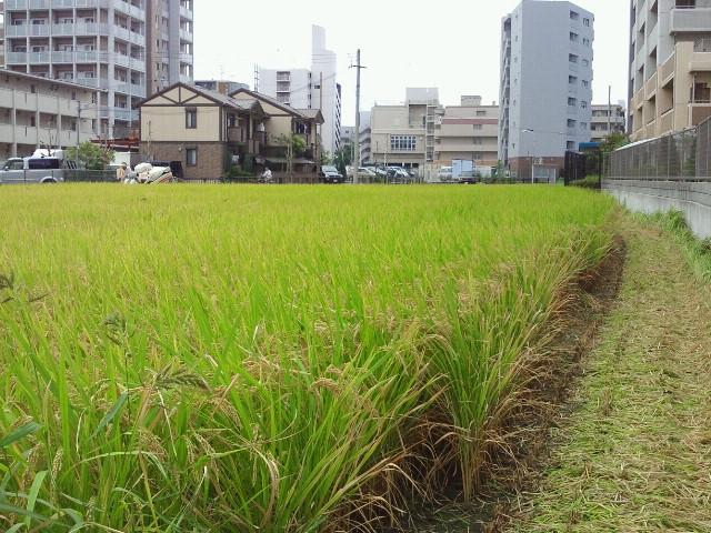 20120929稲刈り④