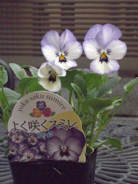 20121105よく咲くスミレ