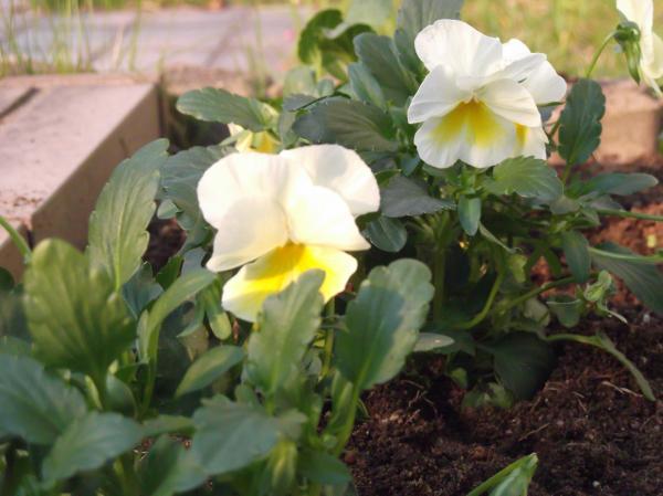20121107よく咲くスミレレモネード