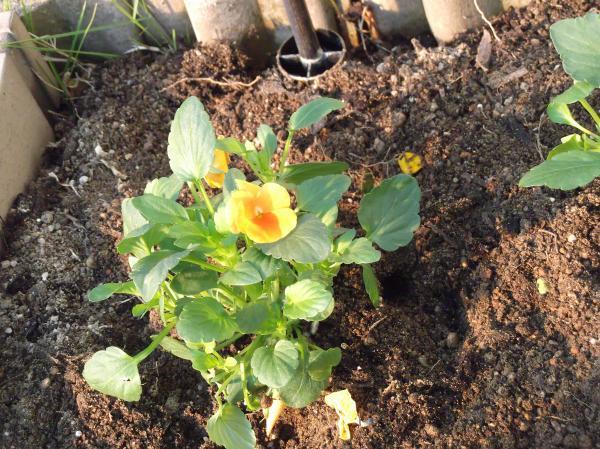 20121107よく咲くスミレマーマレード